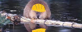 beaver myexperiencedlifedotcom